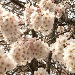 2016桜・お花見 のんびりと過ごす時間っていいな